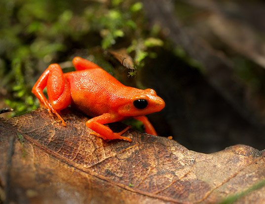 Picture of a golden mantella (Mantella aurantiaca)