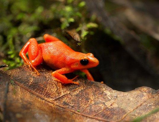 Golden Arrow Poison Frog Life Expectancy