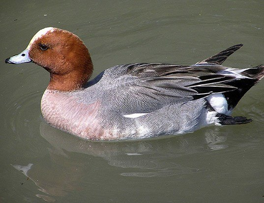 Picture of a eurasian wigeon (Mareca penelope)