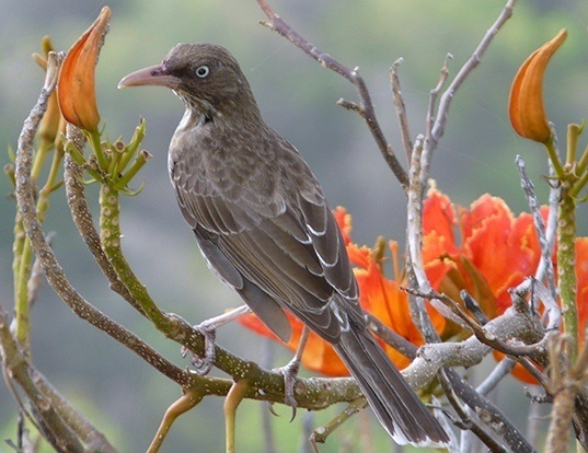 Picture of a pearly-eyed thrasher (Margarops fuscatus)
