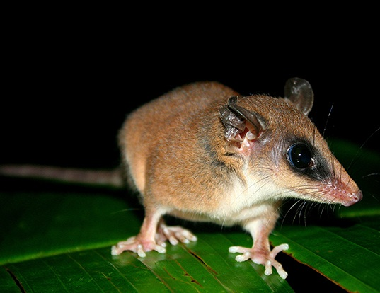 Picture of a mexican mouse opossum (Marmosa mexicana)