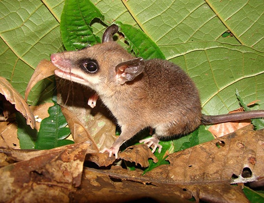 Picture of a white-bellied slender mouse opossum (Marmosops noctivagus)