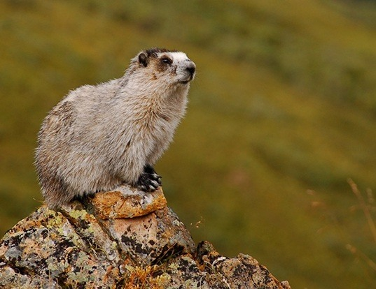 Picture of a montague island hoary marmot (Marmota caligata)