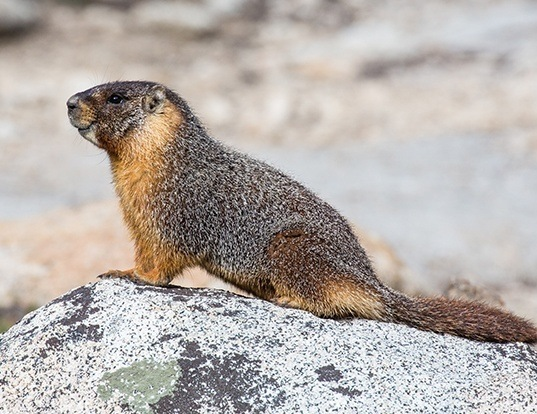 Picture of a yellow-bellied marmot (Marmota flaviventris)