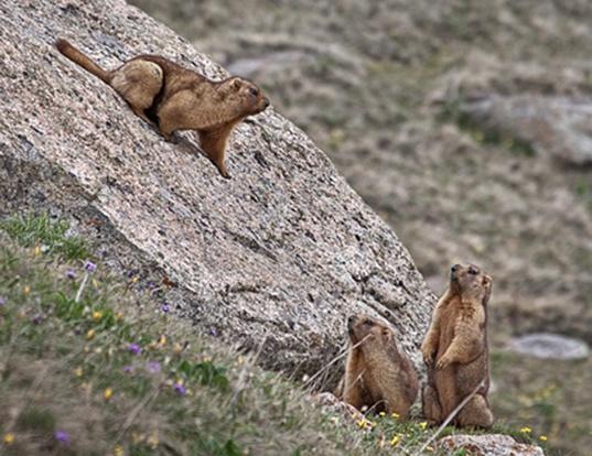 Picture of a menzbier's marmot (Marmota menzbieri)