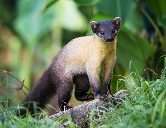 Picture of a yellow-throated marten (Martes flavigula)