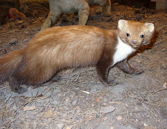 Picture of a stone marten (Martes foina)