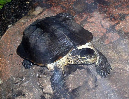 Picture of a annam leaf turtle (Mauremys annamensis)