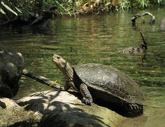 Picture of a caspian turtle (Mauremys caspica)