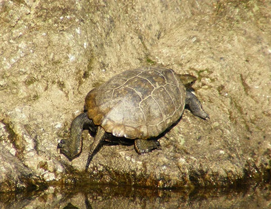 Picture of a japanese pond turtle (Mauremys japonica)