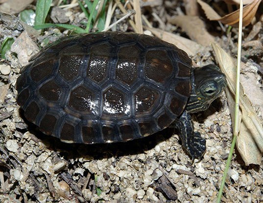 Picture of a mediterranean turtle (Mauremys leprosa)