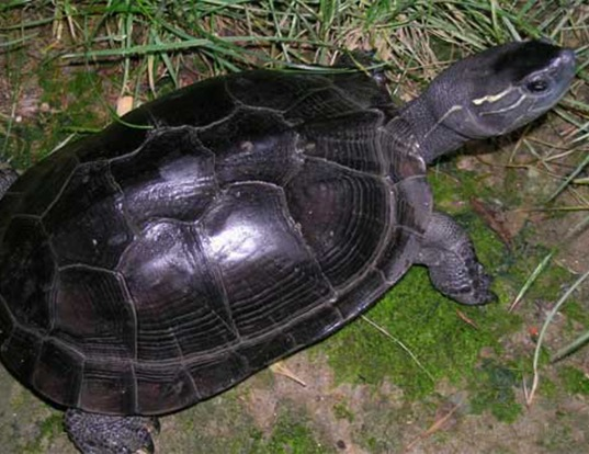 Picture of a red-necked pond turtle (Mauremys nigricans)