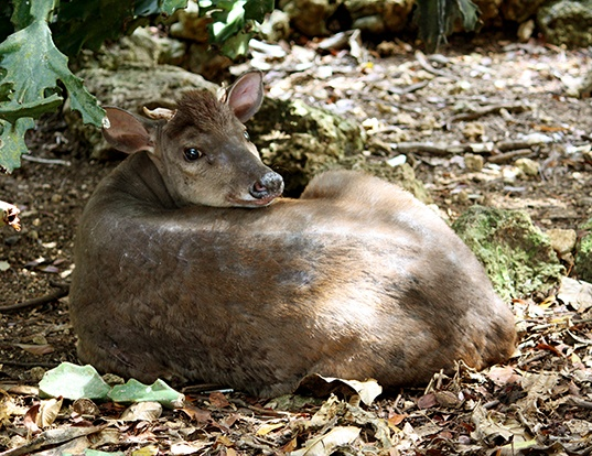 Picture of a red brocket (Mazama americana)