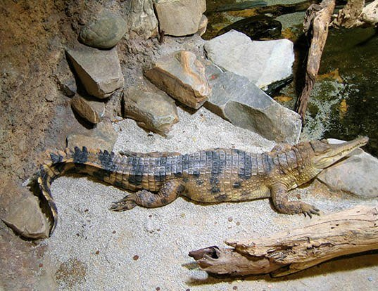 Picture of a african slender-snouted crocodile (Mecistops cataphractus)