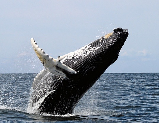 Picture of a humpback whale (Megaptera novaeangliae)