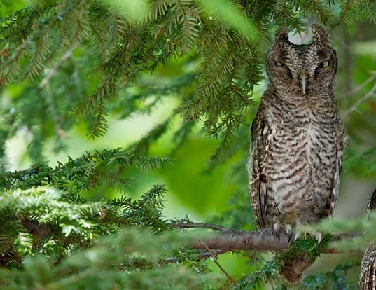 Picture of a eastern screech-owl (Megascops asio)