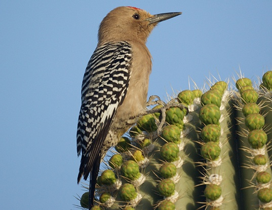 Picture of a gila woodpecker (Melanerpes uropygialis)