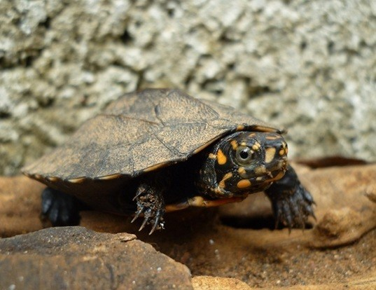 Picture of a indian black turtle (Melanochelys trijuga)