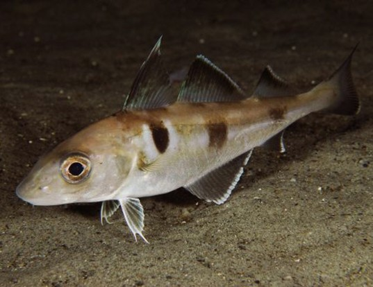 Picture of a haddock (Melanogrammus aeglefinus)