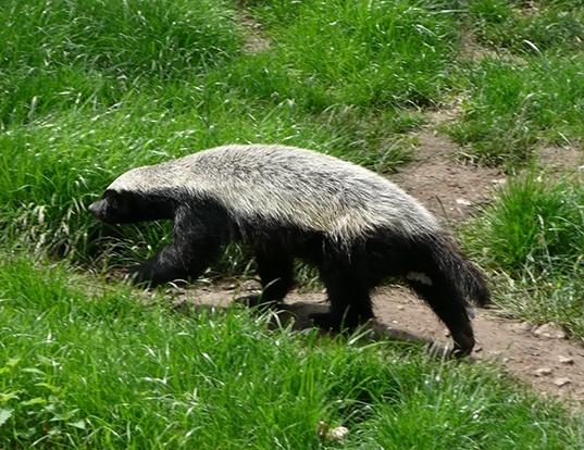 Honey Badger Life Expectancy