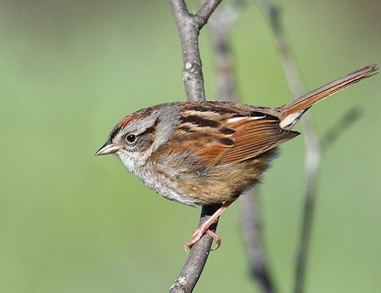 Picture of a swamp sparrow (Melospiza georgiana)