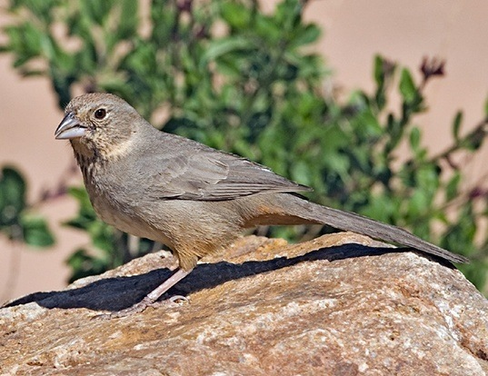 Picture of a canyon towhee (Melozone fuscus)