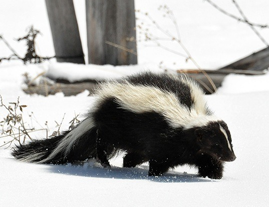 Picture of a striped skunk (Mephitis mephitis)