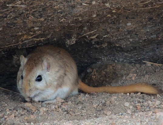 Picture of a mid-day gerbil (Meriones meridianus)