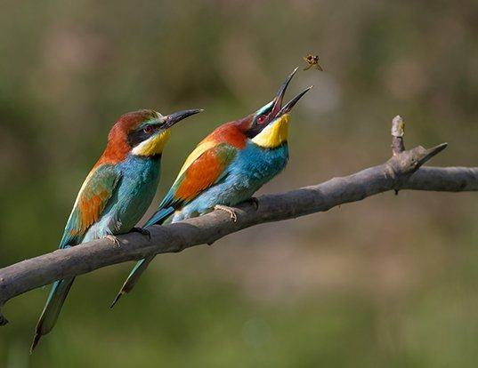 Picture of a european bee-eater (Merops apiaster)