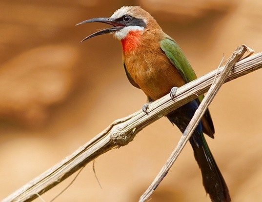 Picture of a white-fronted bee-eater (Merops bullockoides)