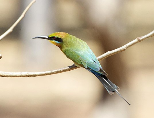 Picture of a rainbow bee-eater (Merops ornatus)