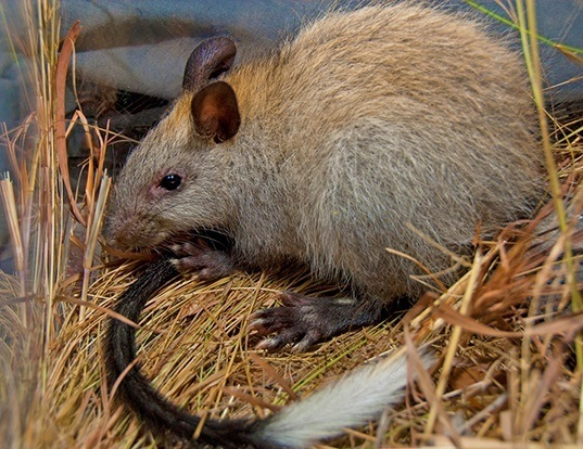 Picture of a black-footed tree rat (Mesembriomys gouldii)
