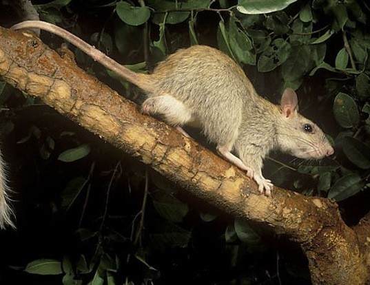Picture of a golden-backed tree rat (Mesembriomys macrurus)