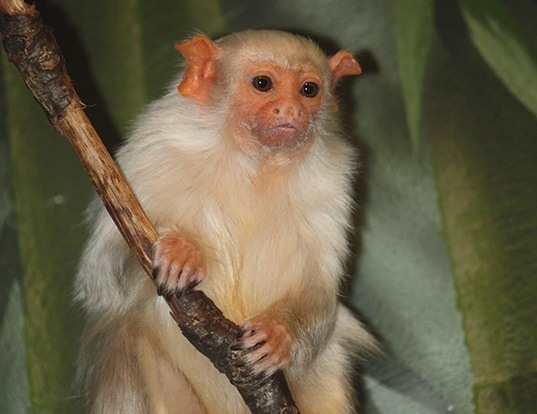 Picture of a silvery marmoset (Mico argentatus)