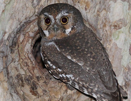 Picture of a elf owl (Micrathene whitneyi)
