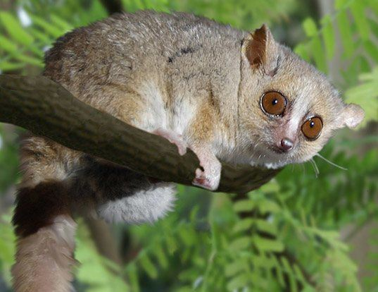 Picture of a gray mouse lemur (Microcebus murinus)