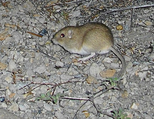 Picture of a dark kangaroo mouse (Microdipodops megacephalus)