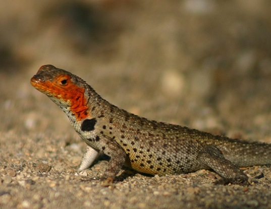 Picture of a galapagos lava lizard (Microlophus albemarlensis)