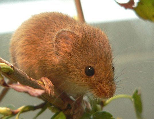 Picture of a old world harvest mouse (Micromys minutus)