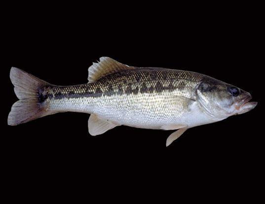 Picture of a spotted bass (Micropterus punctulatus)