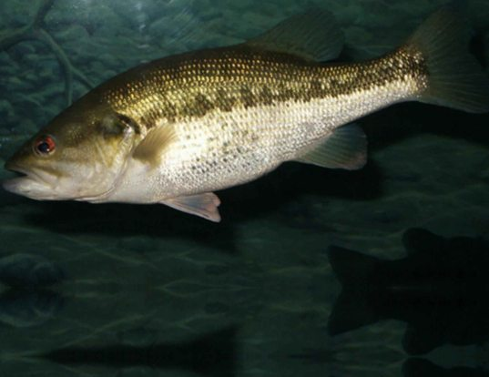 Picture of a largemouth bass (Micropterus salmoides)
