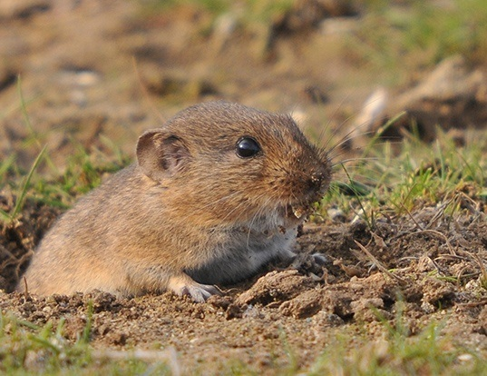 Picture of a gunther's vole (Microtus guentheri)