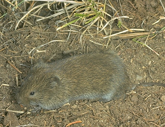 Picture of a long-tailed vole (Microtus longicaudus)