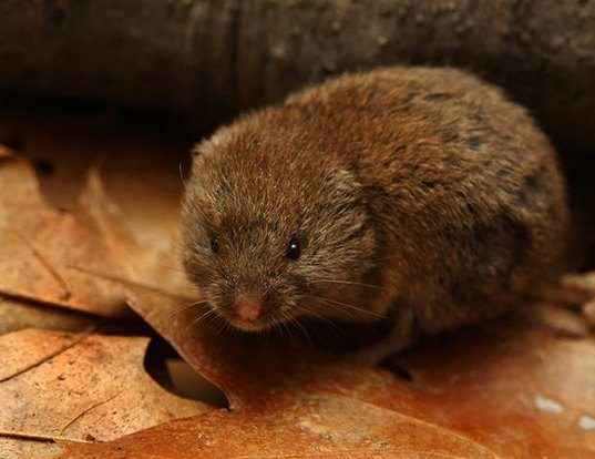 Picture of a woodland vole (Microtus pinetorum)