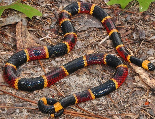 Picture of a eastern coral snake (Micrurus fulvius)