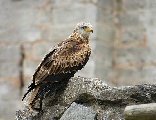Picture of a red kite (Milvus milvus)