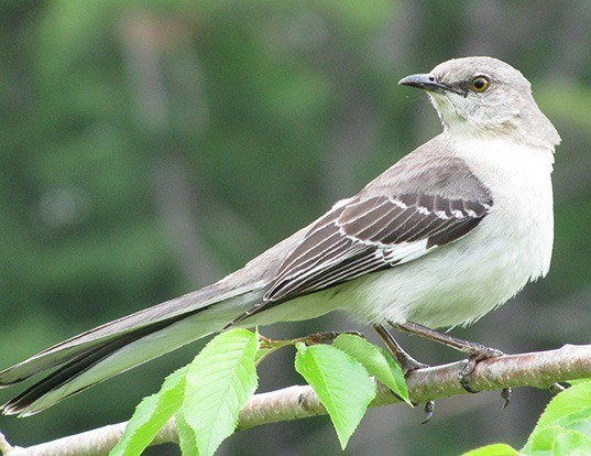Picture of a northern mockingbird (Mimus polyglottos)