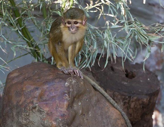 Picture of a southern talapoin monkey (Miopithecus talapoin)