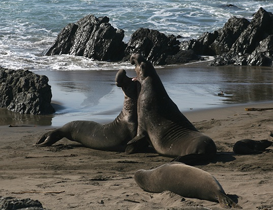 Picture of a northern elephant seal (Mirounga angustirostris)