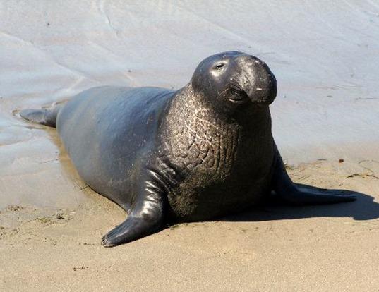 Picture of a southern elephant seal (Mirounga leonina)